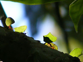 Photo: Leaf cutter ants on a lovely sunny day