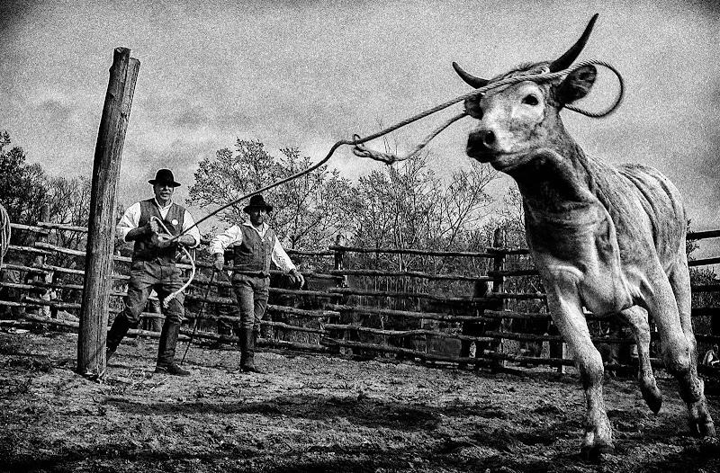 La merca del bestiame, uno dei tanti lavori faticosi del buttero! di Patribi