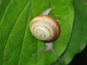 Photo: 25 Jun 13 Priorslee Lake: Close-up snail: probably a Yellow-lipped Snail but did not look! (Ed Wilson)