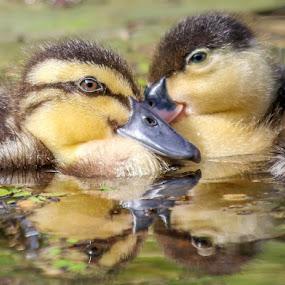 by Denise Flay - Animals Birds (  )