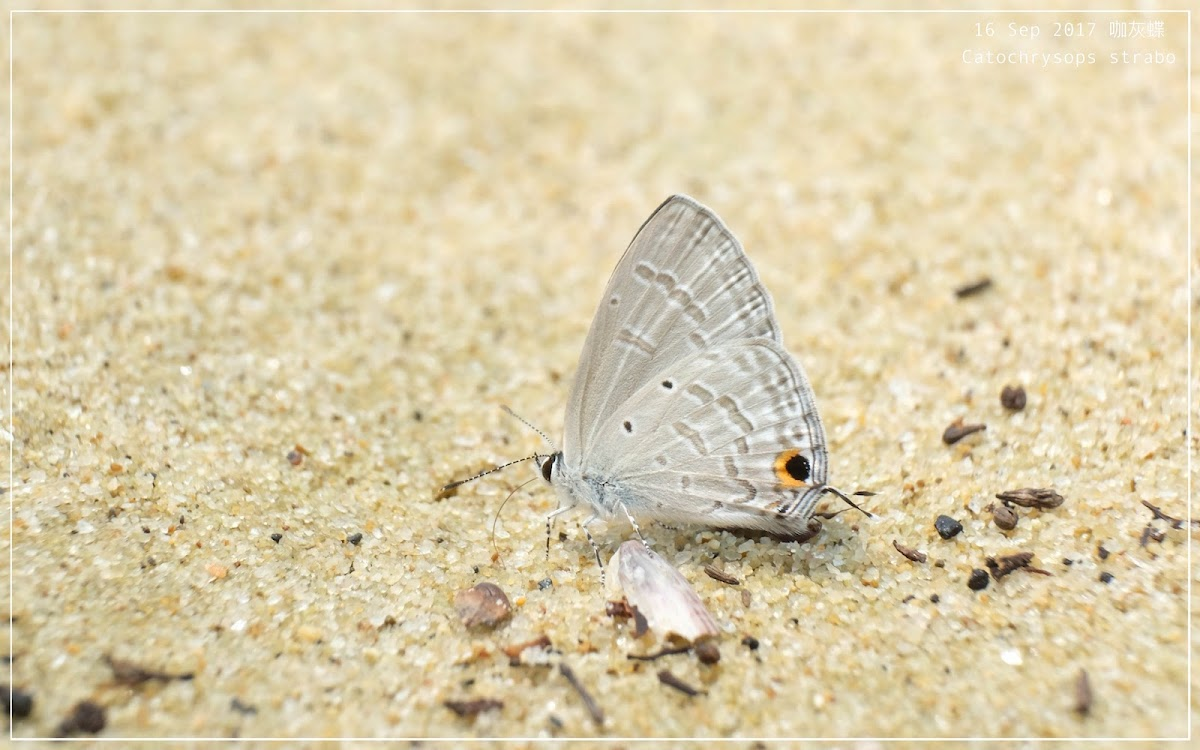 Catochrysops strabo 咖灰蝶
