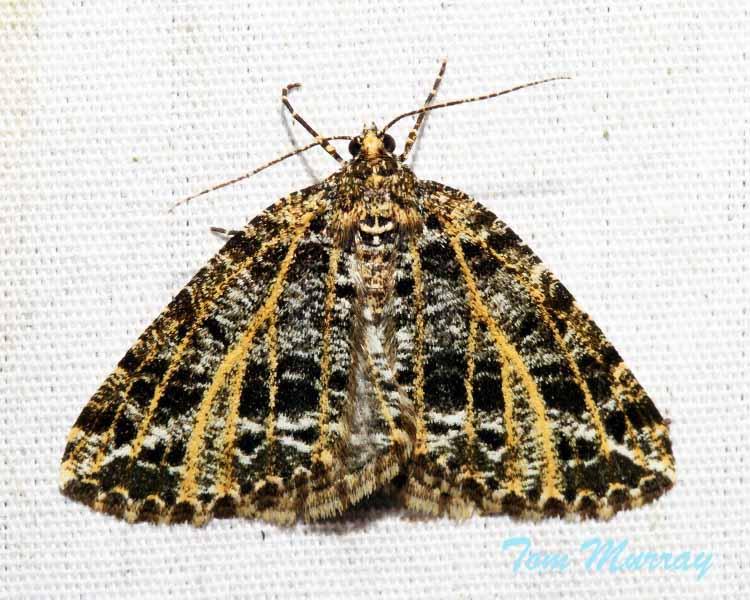 Yellow-veined Geometer Moth