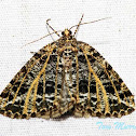 Yellow-veined Geometer Moth