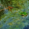 Green water frog