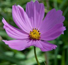 Photo: Original photo - deep lilac cosmos