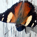 Australian/Yellow Admiral Butterfly