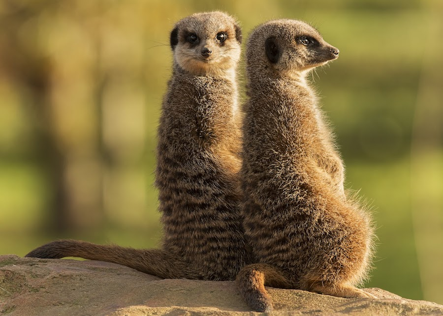 I've got your back by Roland Rodgerson - Animals Other Mammals ( danger, sitting, lookout, mamal, meerkat,  )