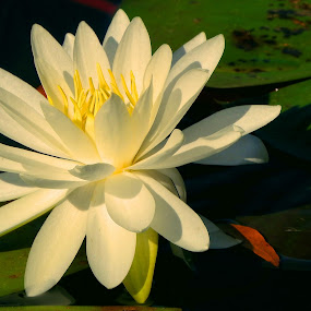 Water Lily by Bill Martin - Flowers Flowers in the Wild ( water, macro, nature, petals, white, yellow, water lily, flower,  )