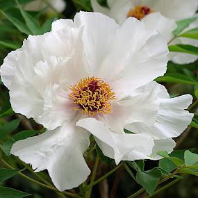 white & crimson by Frank Barnitz - Flowers Single Flower ( white, flower )