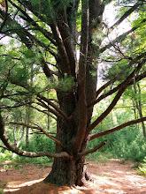 Photo: Massive pine near the bog