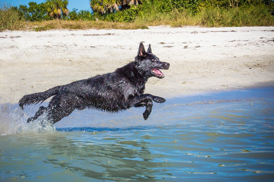 Leap! by Meaghan Browning - Animals - Dogs Playing ( water, ocean, beach, german shepherd, leap, jump )