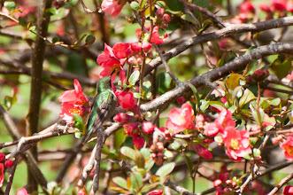 Photo: Ruby-throated Hummingbird (Rubinkehlkolibri); Lochaber, NS