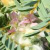Balkan Milkvetch