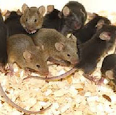 Rodent Pest Control in Sunderland from Northern Pest Solutions