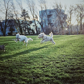 Playing Dogs by Anwesh Soma - Animals - Dogs Playing ( shotoniphone )