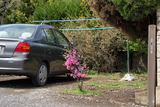 Photo: Blossom coming straight out of the ground on a residential property in Ōizumi, Ōra District, Gunma Prefecture. Read more about Oizumi: http://japanvisitor.blogspot.jp/2015/04/oizumibrazil-in-japan.html