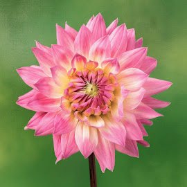 Pink & White Dahlia by Jim Downey - Flowers Single Flower ( red, pink, green, white, dahlia )