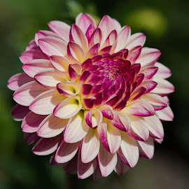 The Color Pops by Janet Marsh - Flowers Single Flower ( pink and white, pescadero, dahlia )