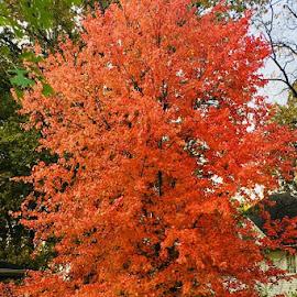 Orange You Glad it's Fall by Lori Fix - Nature Up Close Trees & Bushes
