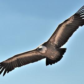 Vulture by Tomasz Budziak - Animals Birds ( animals, birds, vulture )