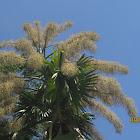Tailpot Palm