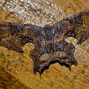 Brown Scoopwing Moth