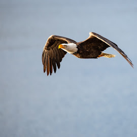 Bald Eagle by Craig Lybbert - Animals Birds ( flight, wings, eagle, bald, bald eagle )