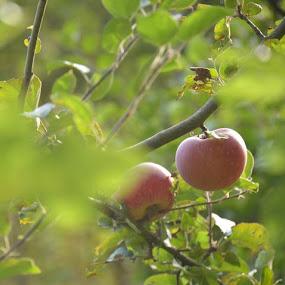 Apple by Rosita Ramner - Food & Drink Fruits & Vegetables