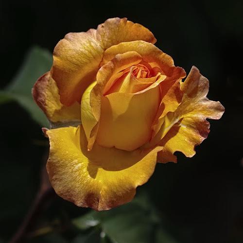 by Jomabesa Jmb - Flowers Single Flower ( amarilla, flores,  )