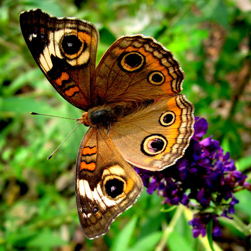 Common Buckeye Butterfly by Jane Spencer - Animals Insects & Spiders ( butterfly bush, common buckeye butterfly, summer, insect, garden,  )
