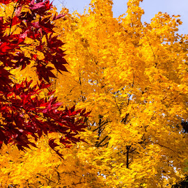 Red, and yellow by Art Tilts - Nature Up Close Leaves & Grasses ( red, fall leaves, red leaves, fall colors, yellow, yellow leaves )