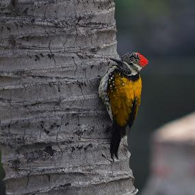 Wood pecker by Abhishek Ghosh - Animals Birds (  )