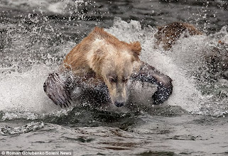 Photo: the spirit of handke as exemplified by a young grizzly going after a salmon