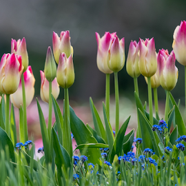 Red and White Tulips by Keith Sutherland - Flowers Flower Gardens