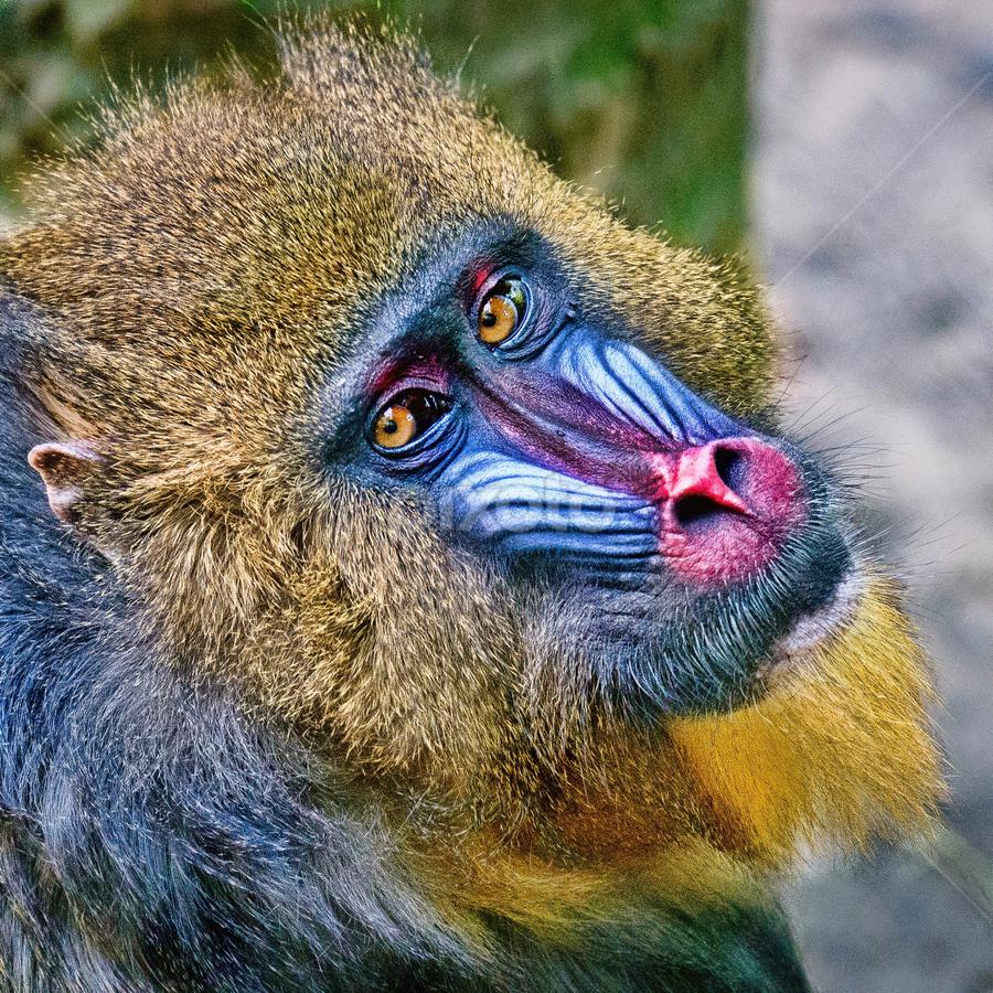 Mandrill Musings by Judy Rosanno - Animals Other Mammals ( headshot, ape, mandrill, houston zoo, closeup,  )