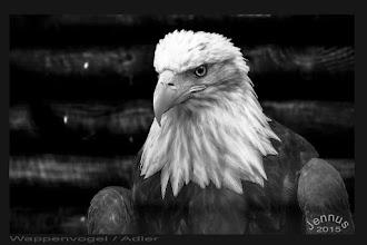 "Photo: The bald eagle (Haliaeetus leucocephalus, from Greek hali ""sea"", aiētos ""eagle"", leuco ""white"", cephalos ""head"") is a bird of prey found in North America. The bald eagle is both the national bird and national animal of the United States of America."