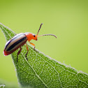 Three Lined Potato Beetle