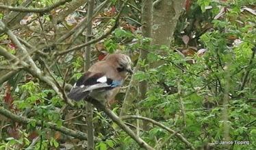 Photo: Jay near the bridleway that runs through Ashenground Wood and alongside Bolnore Village