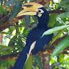 Oriental Pied Hornbill male