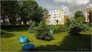 Photo: Molid (Picea abies) - din Turda,  scuarul de pe Str. Rapsodiei intersectie cu Str. Baladei si Calea Victoriei - 2019.05.26