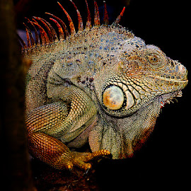 Iguana iguana by Gérard CHATENET - Animals Reptiles