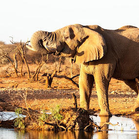 Elephant by Ada Louw - Animals Other