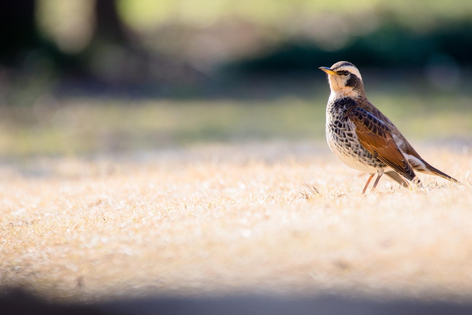 Photo: 「新しい旅路へ」 / Beginning of a new journey.  さあ、 新しい旅が始まるよ 準備はいいかな? 大丈夫 キミのその翼なら ちゃんと越えて行ける  Dusky thrush. (ツグミ)  Nikon D7200 SIGMA 150-600mm F5-6.3 DG OS HSM Contemporary  #birdphotography #birds #kawaii #小鳥 #nikon #sigma #小鳥グラファー  ( http://takafumiooshio.com/archives/994 )