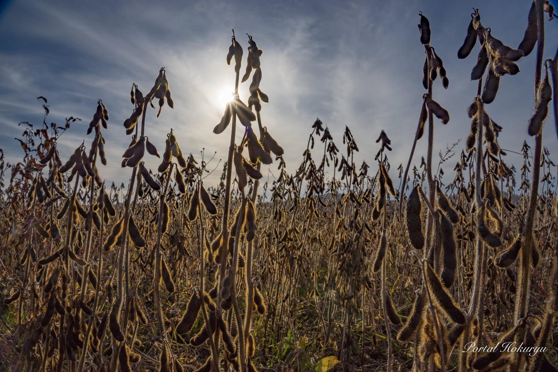 黒千石大豆収穫