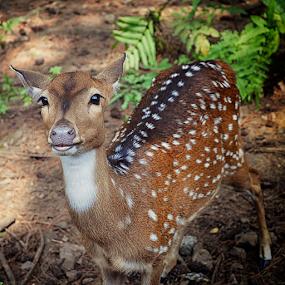 Deer's Face by Wahyu Jr. Abadi - Animals Other ( face, fauna, geghans, cute, garden, surabaya, animal, deer,  )