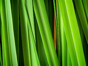 Photo: Lemongrass Photo credit Log House Plants