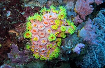 Photo: Tubastrea aurea - Золотой коралл, Желтый солнечный коралл