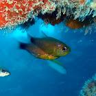 Duskytailed Cardinalfish