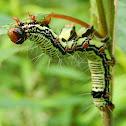Ramie Moth Caterpillar