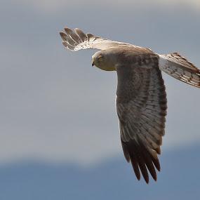 Northern Harrier by Andrew Johnson - Animals Birds ( bird, nature, wildlife, raptor, animal, hawk )